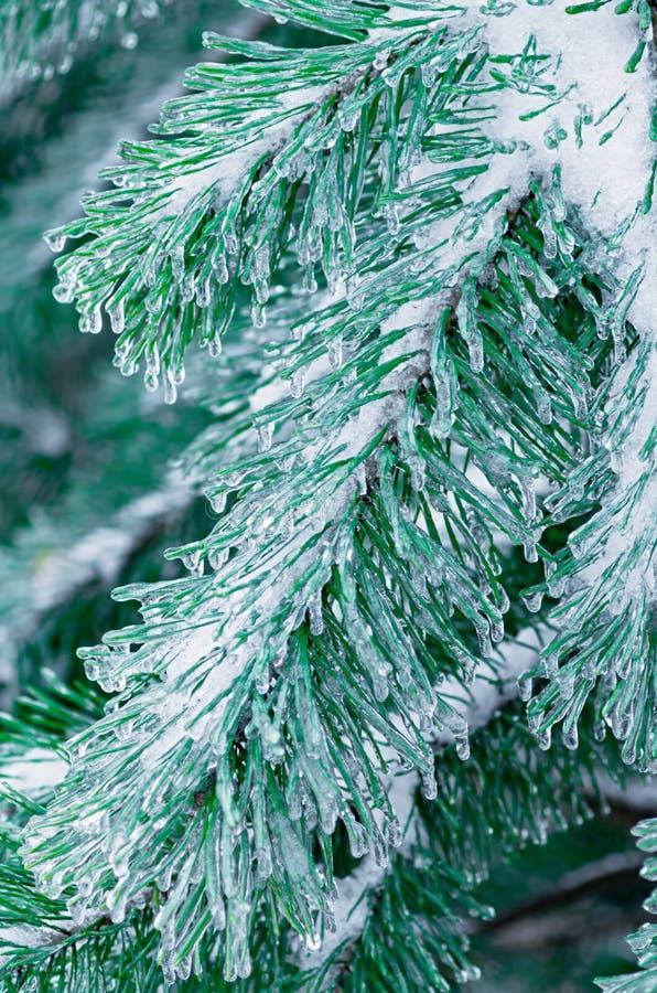eisbedeckte Kiefernäste Regen einfrieren Nahaufnahme stockbilder