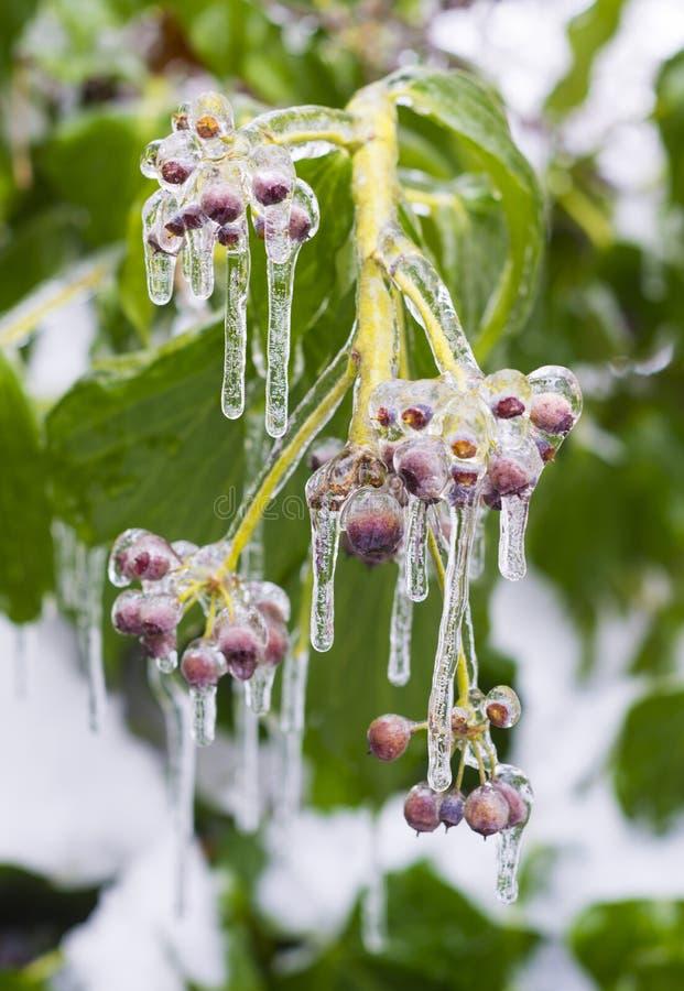 Eisbedeckung Beeren lizenzfreie stockfotos