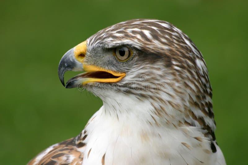 Eisenhaltiger Falke Stockbild