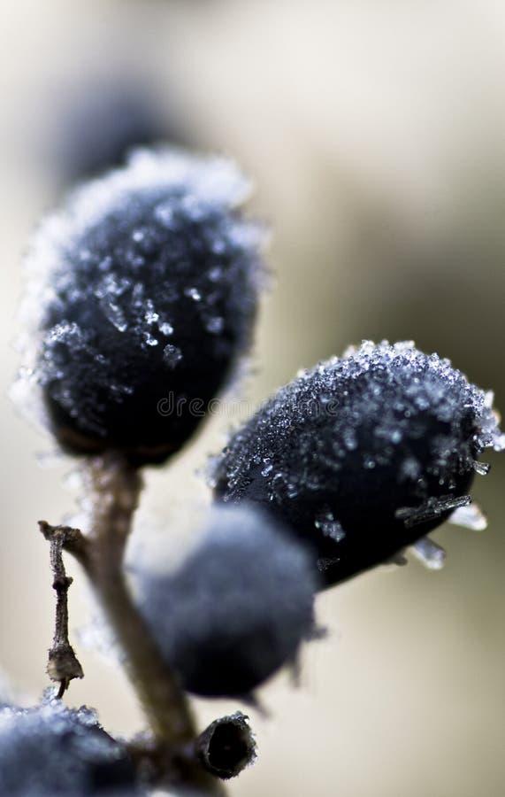 Eisige Beeren lizenzfreie stockfotos