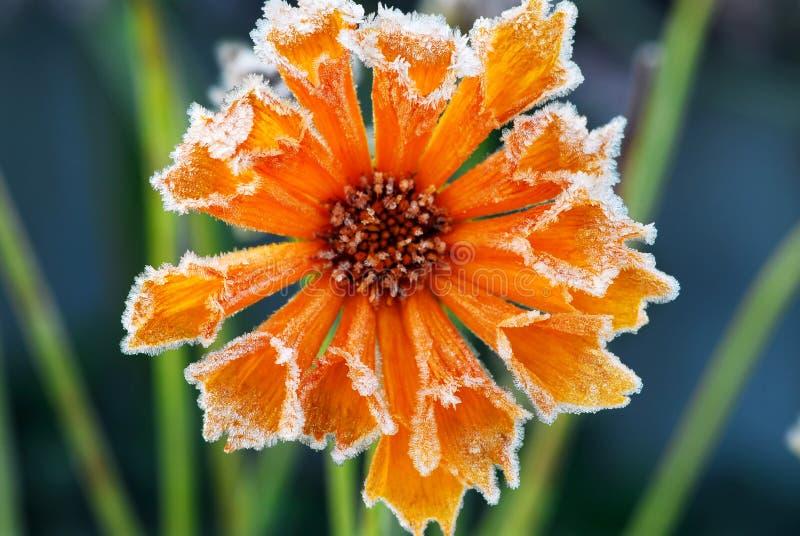 Eisige Blume lizenzfreies stockfoto