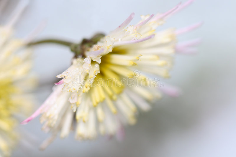 Eisige Chrysantheme stockfotos