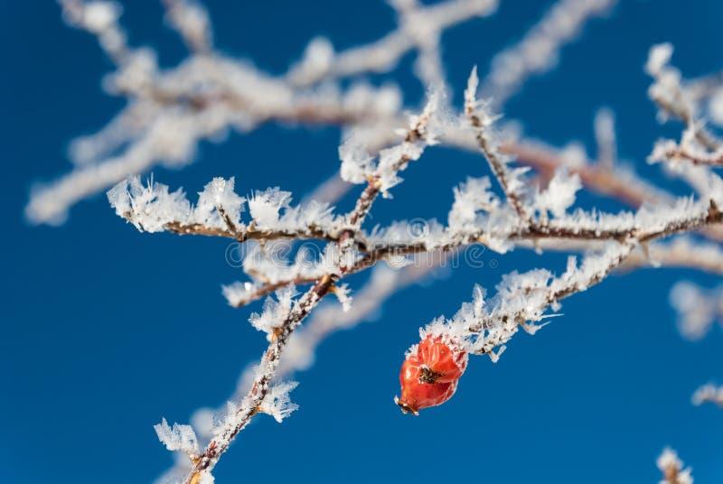 Eisiger, gefrorener Weißdorn-Baum stockfoto