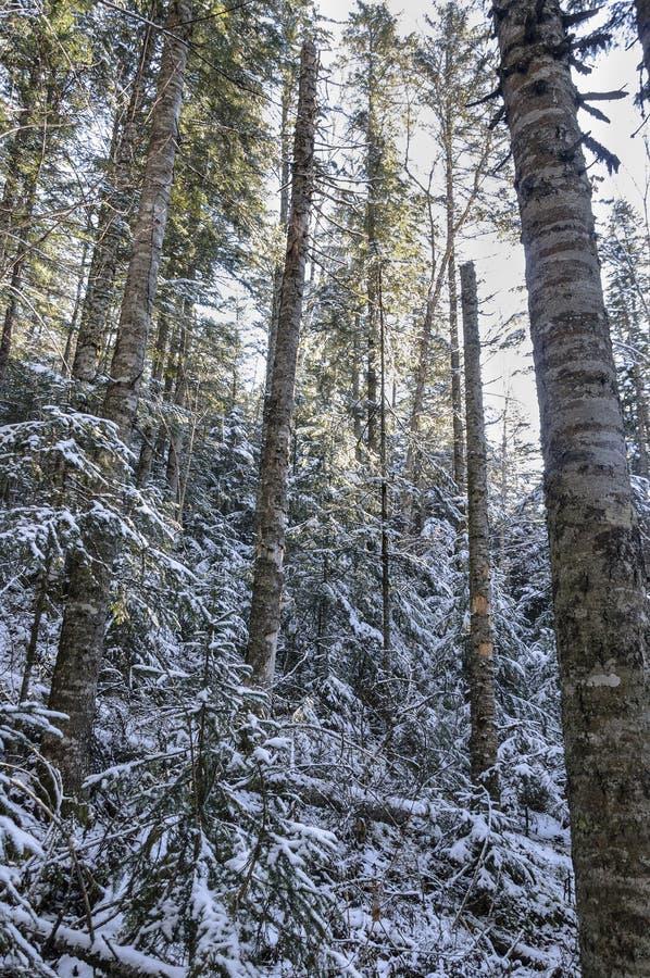 Eisiger Morgen im Wald stockfotografie