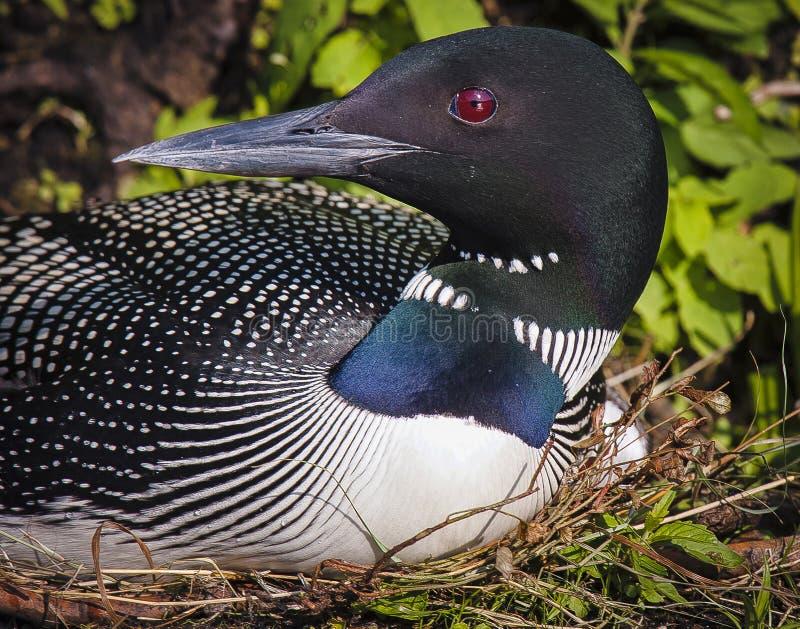 Eistaucher auf Nest Gavia immer lizenzfreies stockbild