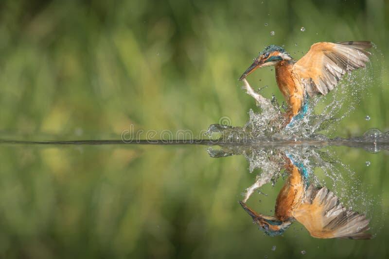 Eisvogel mit Fang. stockbild
