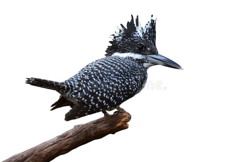 eisvogel vogel mit haube stockfoto bild von braun schwarzes 81666660. Black Bedroom Furniture Sets. Home Design Ideas