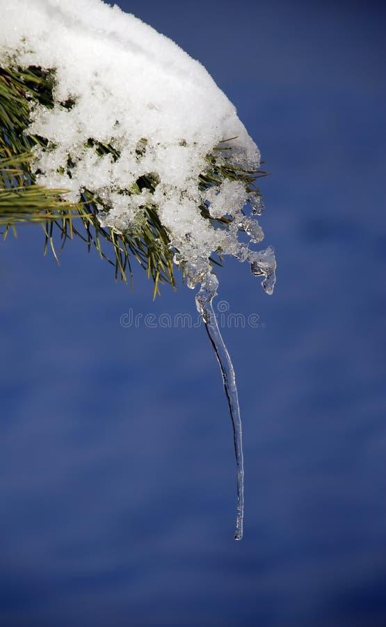 Eiszapfen auf dem Zweig des Tannenbaums stockfoto