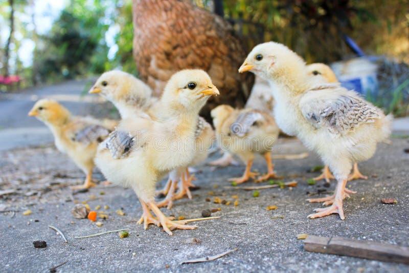 Ejército del pollo del bebé que busca problema fotografía de archivo libre de regalías