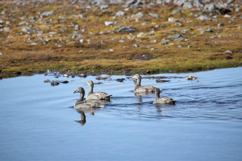 Ejdrar i lite ett damm - arktisk, Spitsbergen royaltyfria bilder