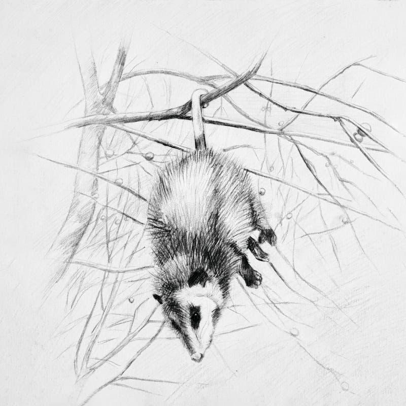 Ejecución blanco y negro del oposum el dormir en una rama de árbol imágenes de archivo libres de regalías