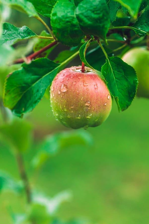 Ejecución de Apple de un árbol verde fotografía de archivo libre de regalías
