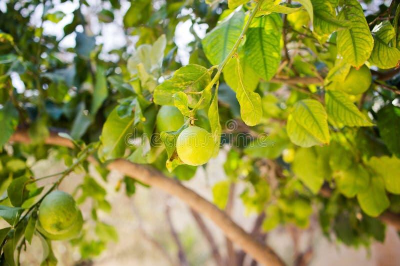 Ejecución de la cal en un árbol Fruta fresca imágenes de archivo libres de regalías