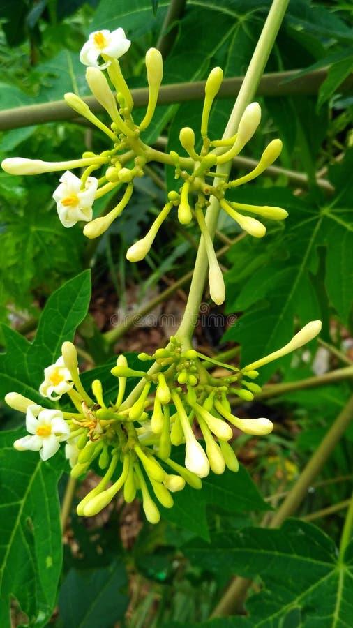 ejecución de la flor de la papaya imágenes de archivo libres de regalías