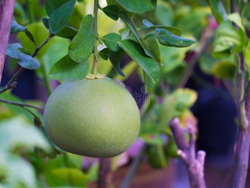 Ejecución de la fruta del pomelo en el árbol fotos de archivo
