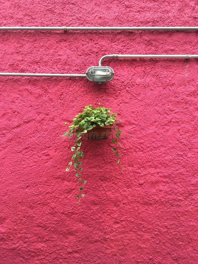 Ejecución de la planta contra una pared rosada imagen de archivo