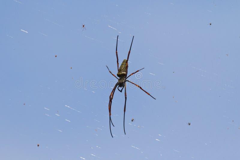 Ejecución de seda de oro enorme de la araña del tejedor del orbe de su web con más allá del horizonte foto de archivo