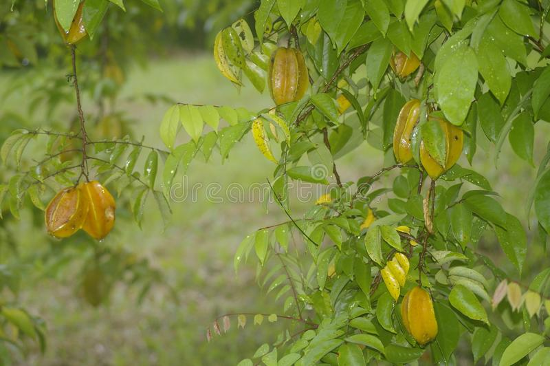 Ejecución de Starfruit en un árbol fotos de archivo