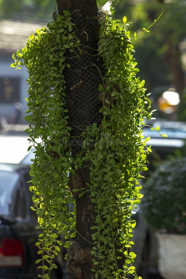 Ejecución del Asclepiadaceae debajo del árbol imagen de archivo libre de regalías