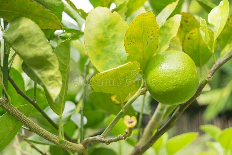 Ejecución del limón en árbol foto de archivo libre de regalías