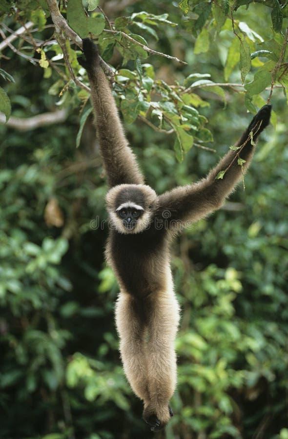 Ejecución del mono de ardilla del árbol fotografía de archivo
