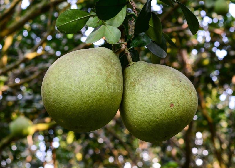Ejecución del pomelo en árbol fotos de archivo libres de regalías