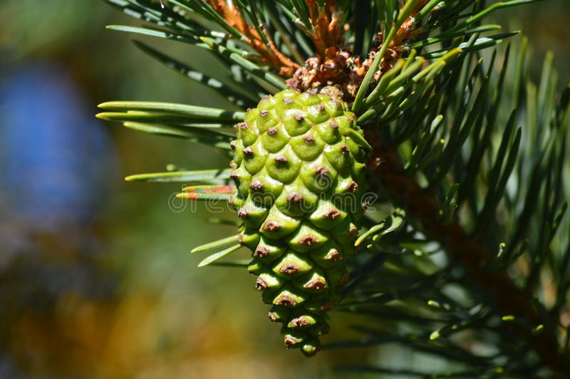 Ejecución hermosa de Pinecone de las ramas de un pino en los prados de Rebedul en Lugo Naturaleza de los paisajes de las flores fotografía de archivo