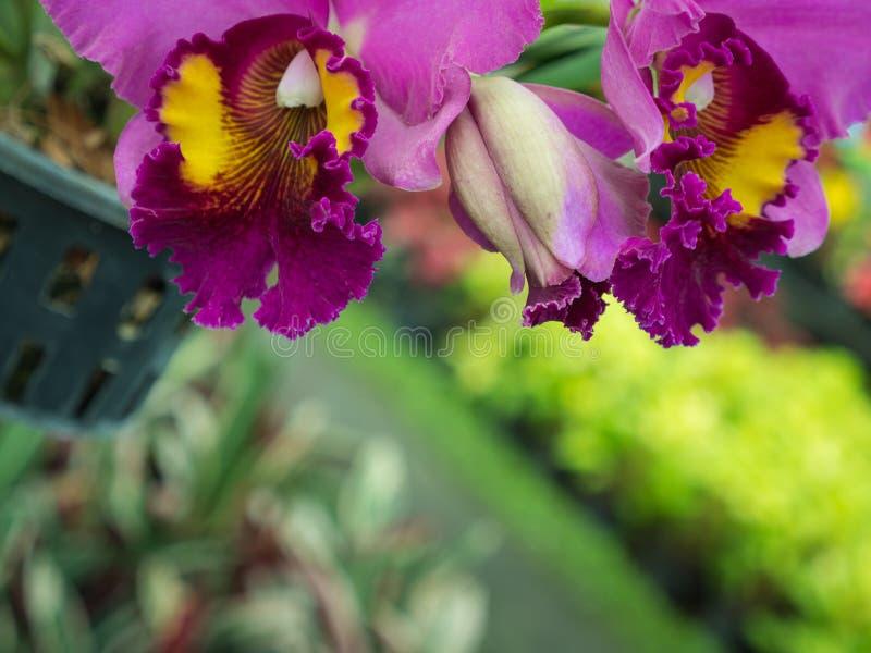 Ejecución púrpura de la flor de la orquídea de Cattleya imagen de archivo libre de regalías