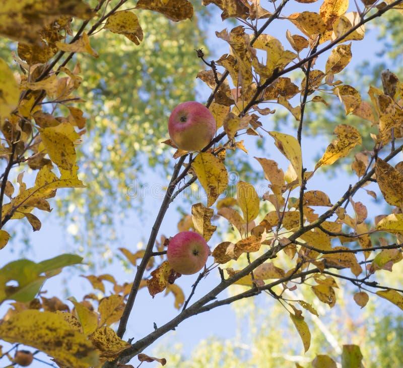 Ejecución roja madura del primer de las manzanas en las ramas de un manzano en el otoño en el fondo de hojas y del cielo azul ama imagen de archivo libre de regalías