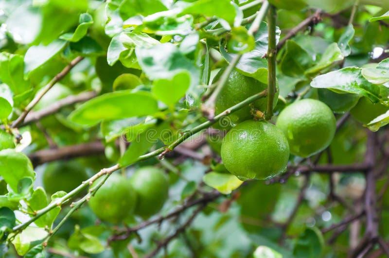 Ejecución verde cruda del limón de las cales frescas en un árbol de cal en jardín fotos de archivo libres de regalías