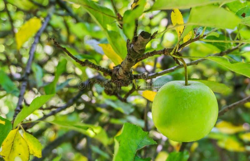 Ejecución verde de la manzana en un cierre de la rama del manzano para arriba fotos de archivo libres de regalías