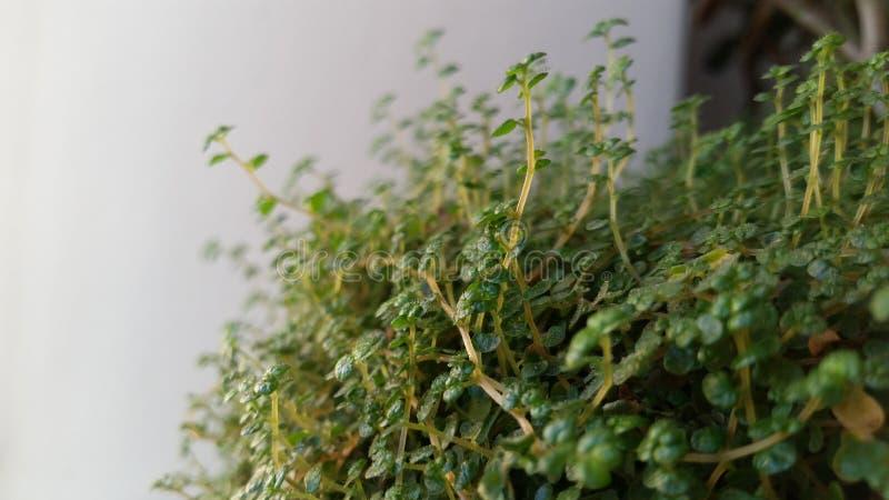 Ejecución verde del árbol en un fondo blanco el subir aislado planta de la vid del verde de la hiedra tropical Trayectoria de rec imagen de archivo