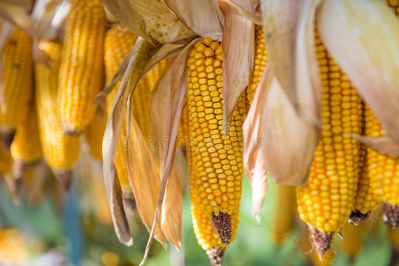 Ejecución y maíz amarillo de la sequedad imagen de archivo