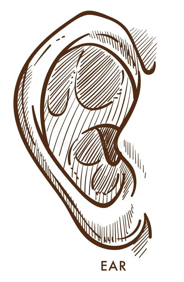 Ejemplo aislado otorrinolaringología del vector del bosquejo del órgano de la opinión del oído ilustración del vector