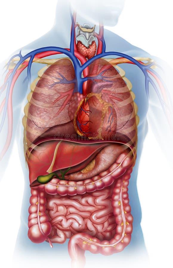 Ejemplo anatómico del cuerpo humano stock de ilustración