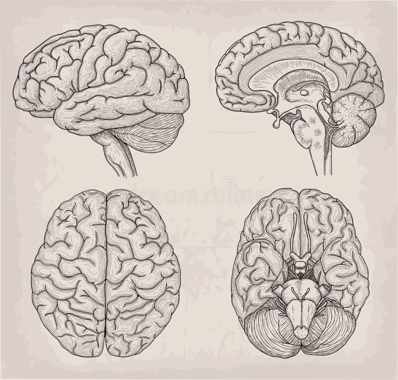 Ejemplo anatómico del ser humano del cerebro Medicina, illustrati del vector ilustración del vector