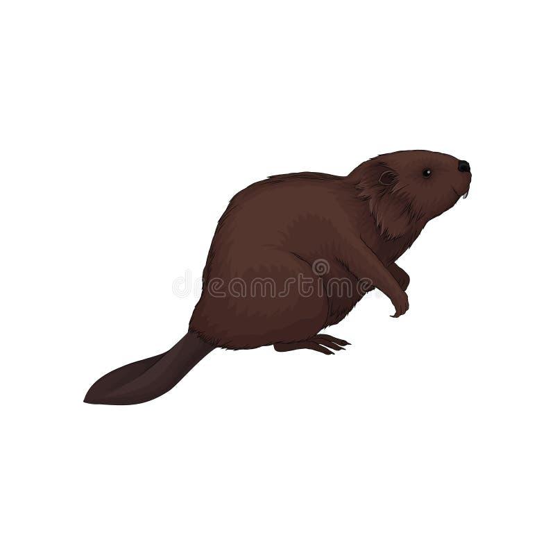 Ejemplo animal del vector del bosque salvaje del castor de Brown en un fondo blanco stock de ilustración