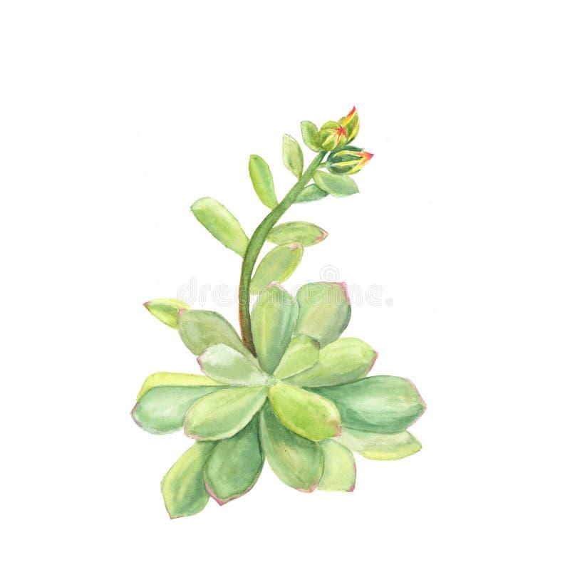 Ejemplo botánico de la acuarela del echeveria suculento en el fondo blanco libre illustration