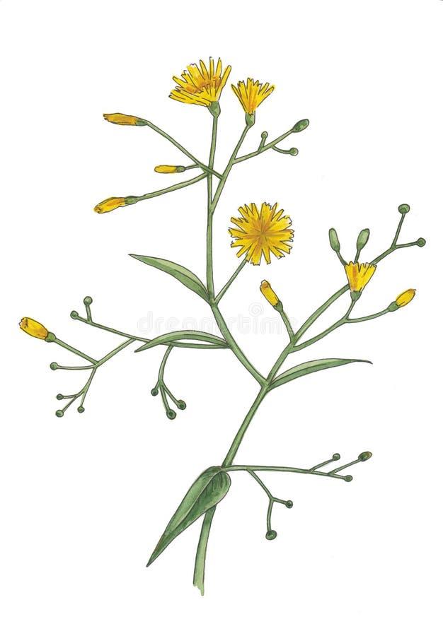Ejemplo botánico de la acuarela de flores amarillas stock de ilustración