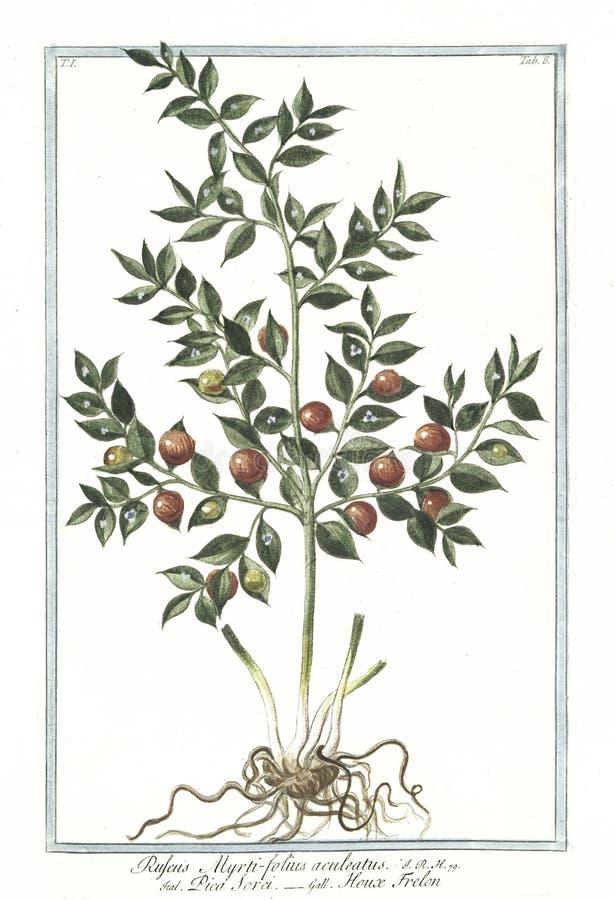 Ejemplo botánico del vintage del Ruscus, planta del aculeatus del myrti-folius libre illustration