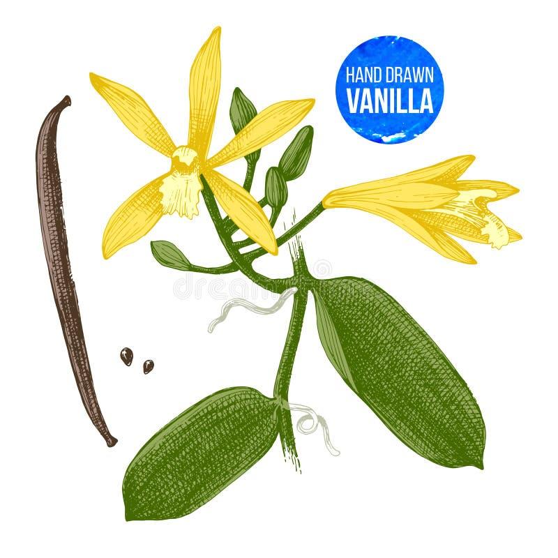 Ejemplo botánico dibujado mano de la planta de la vainilla ilustración del vector