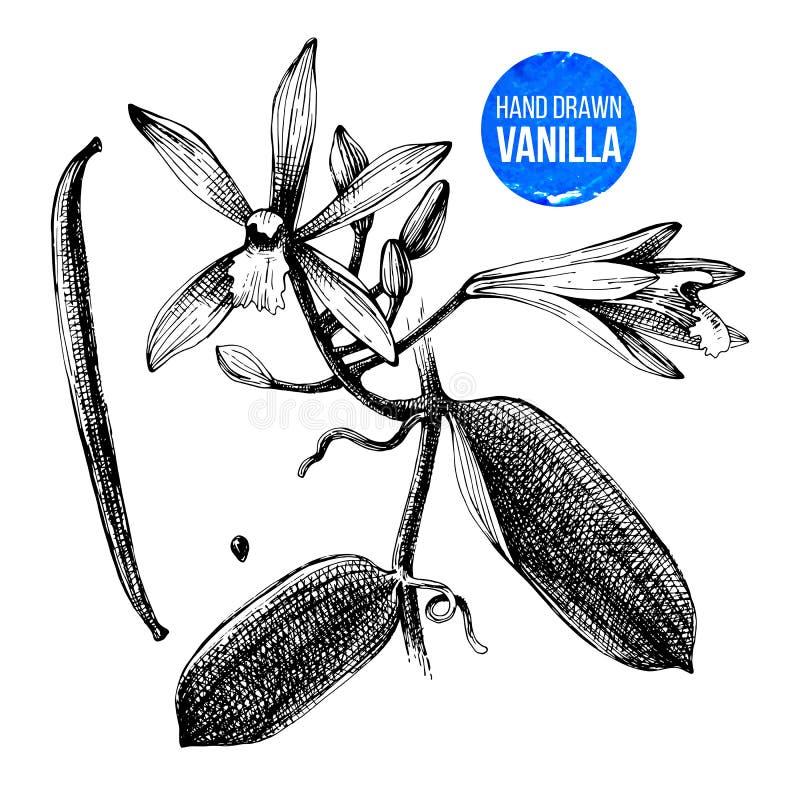 Ejemplo botánico dibujado mano de la planta de la vainilla stock de ilustración
