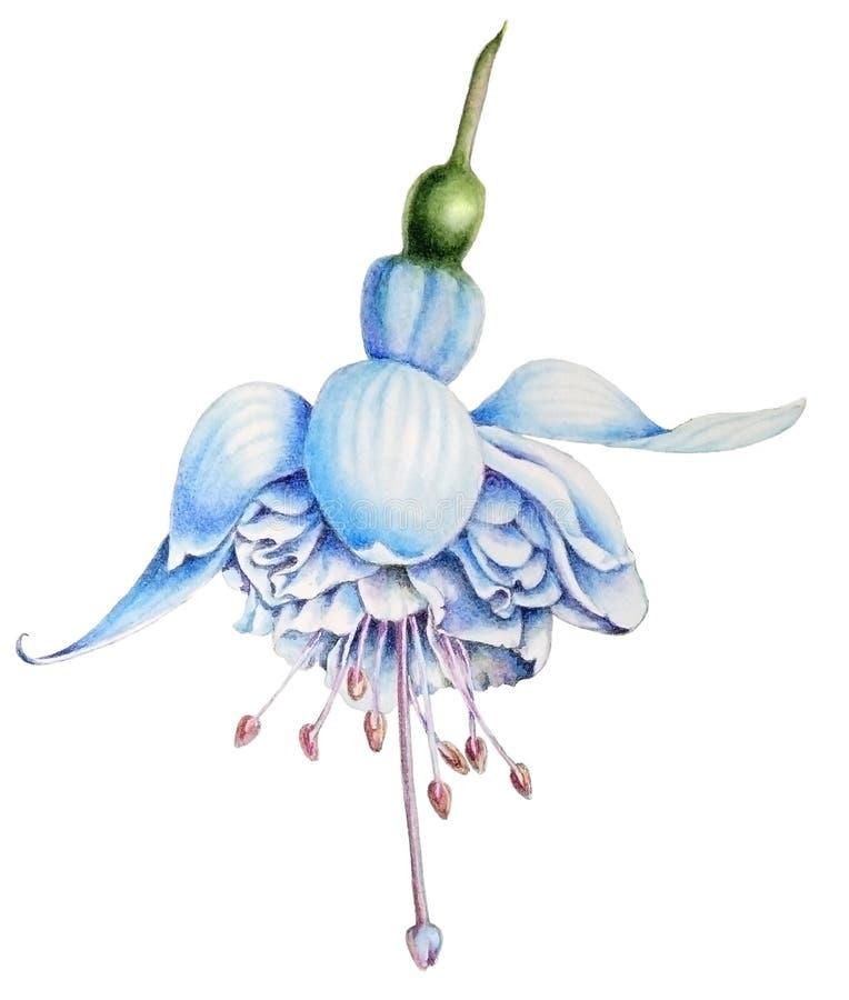Ejemplo botánico hermoso de la acuarela de una flor fucsia blanca stock de ilustración