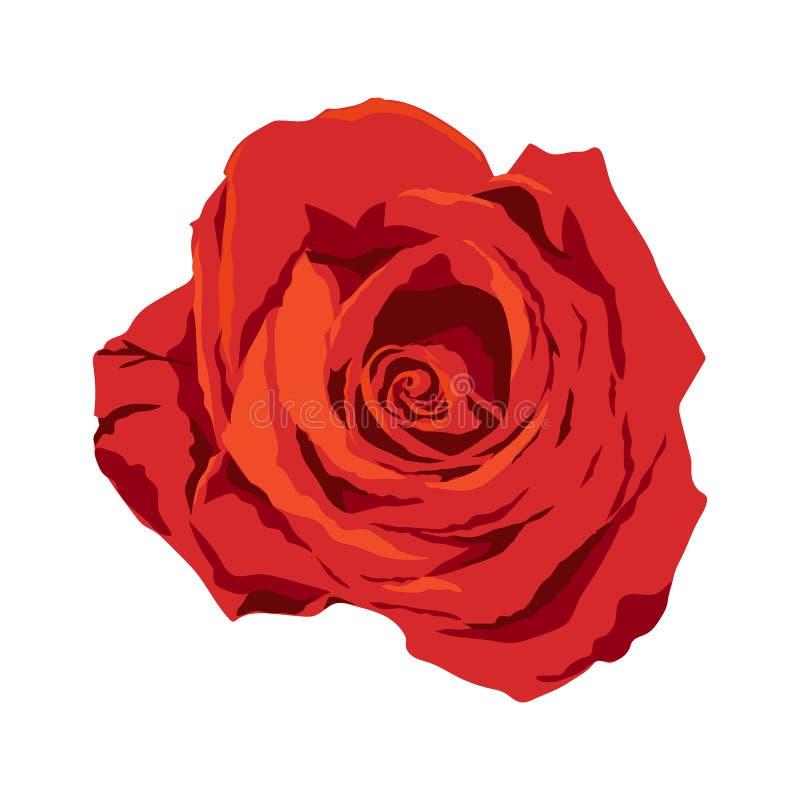 Ejemplo color de rosa rojo aislado en el fondo blanco, flor del cantante del vector ilustración del vector