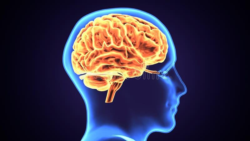 ejemplo 3d de la anatomía del cerebro del cuerpo humano stock de ilustración