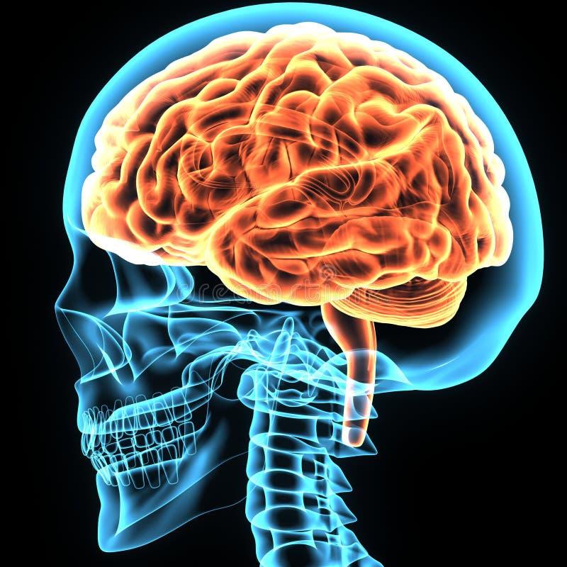 Encantador La Anatomía Del Cerebro En 3d Interactivo Modelo ...