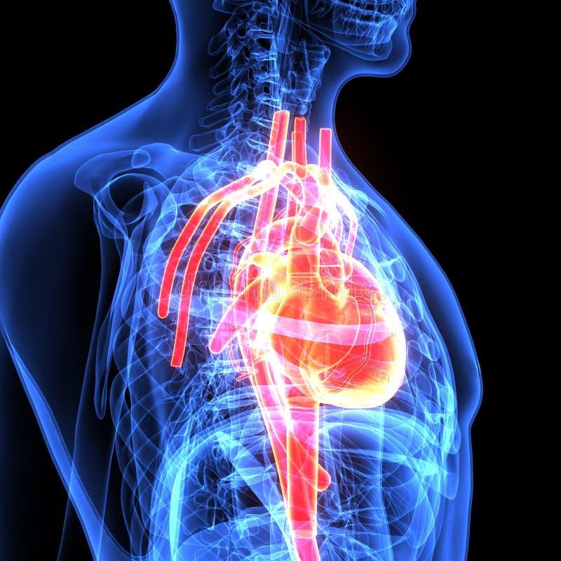 Magnífico Ubicación Del Corazón Humano Imagen - Imágenes de Anatomía ...