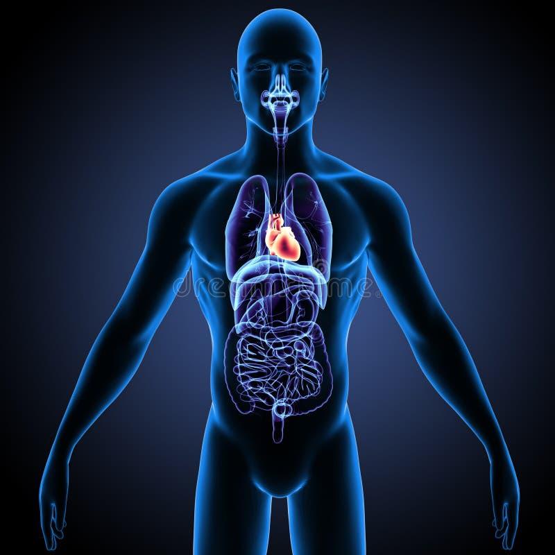 Fantástico Ubicación Corazón Humano En El Cuerpo Viñeta - Anatomía ...