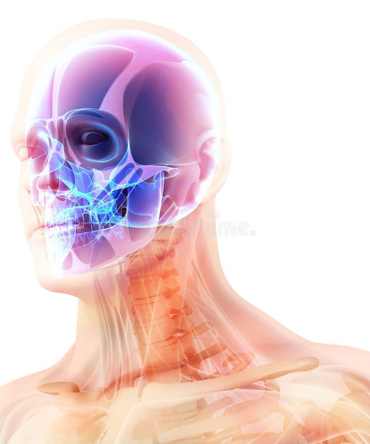 Ejemplo 3D De La Anatomía Del Cráneo - Pieza Del Esqueleto Humano ...