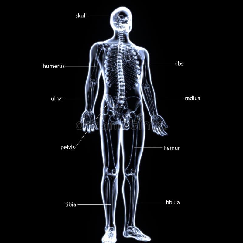 Contemporáneo Diagrama De Esqueleto Anatomía Humana Imagen ...